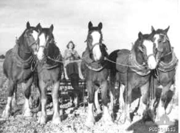 This photograph was taken circa 1944; a member of the Australian Women's Land Army drives a five horse team land-cultivator. The young woman has been identified as Mary McDOWELL (later FARRER). AWM collection no P00784.113.